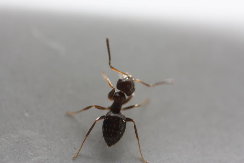 Black ants bite